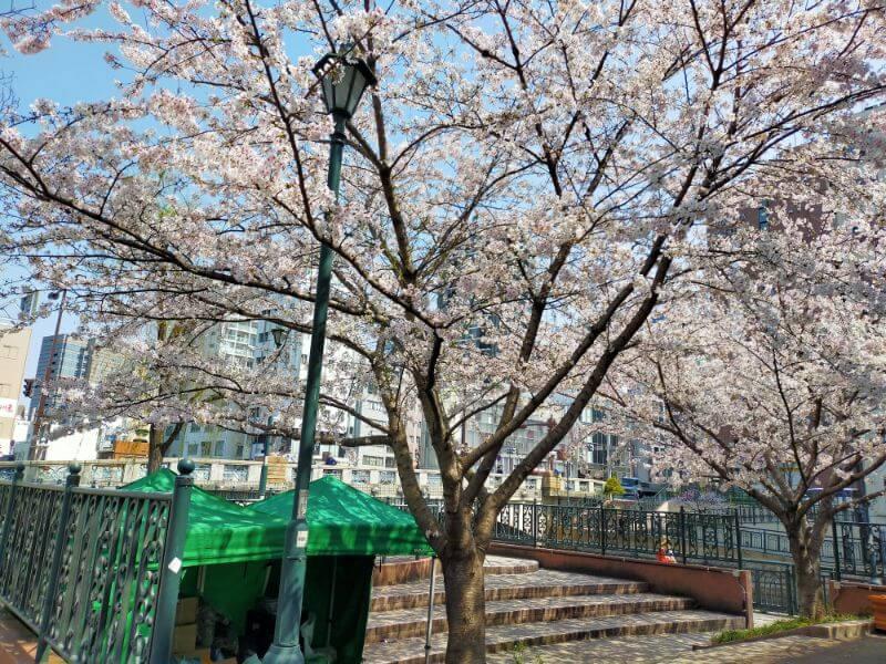 納屋橋の桜