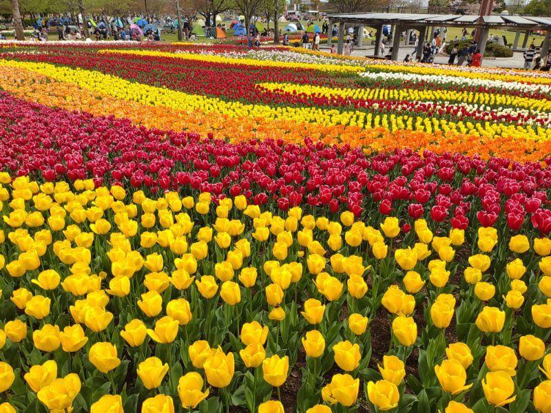 木曽三川公園 チューリップ祭
